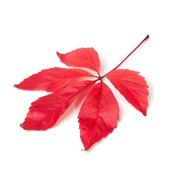 vițel umflat și roșu
