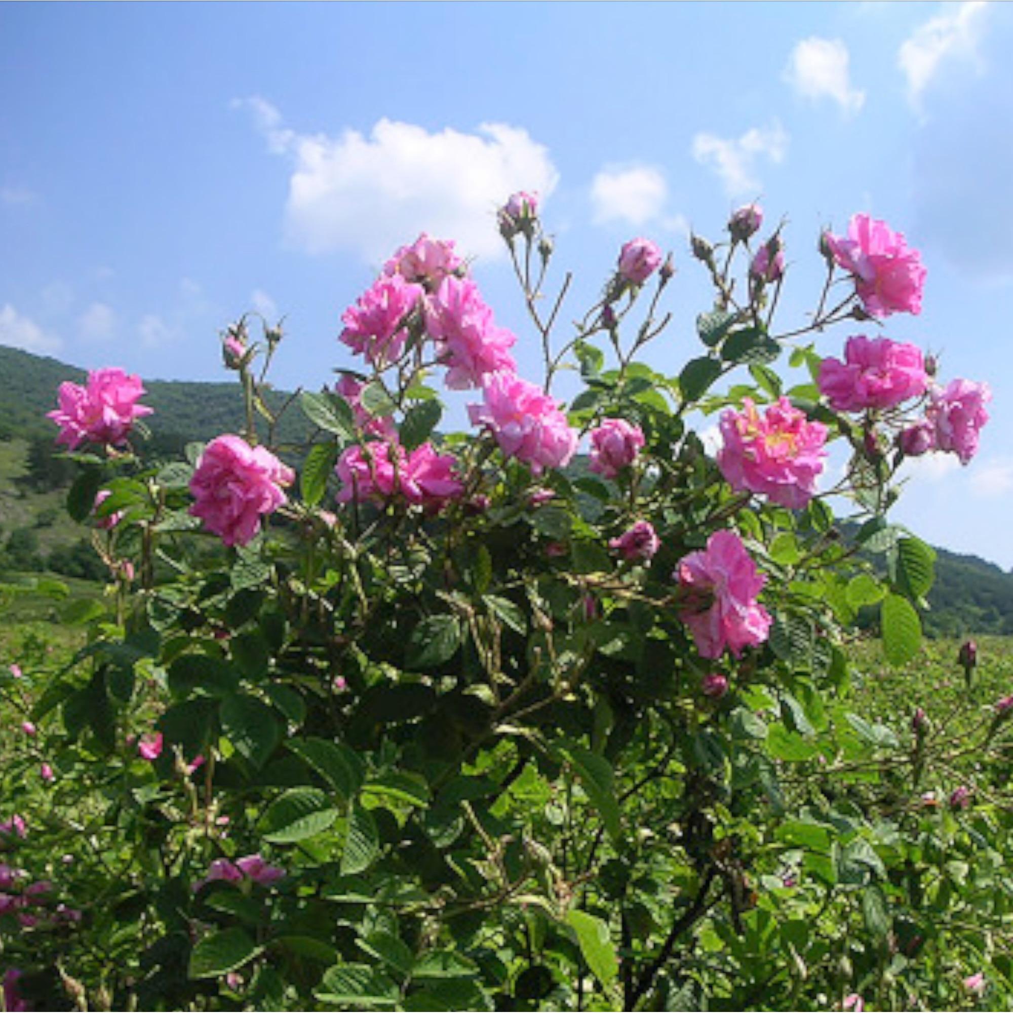 Aftolizol extract din petale de trandafir cu miere, 50 ml, : Farmacia Tei