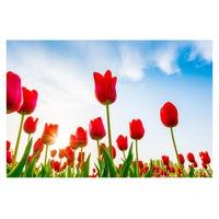 Öntapadó fotótapéta, Tulipán, 110x170 cm