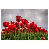 Öntapadó fotótapéta, Tulipánmező, 110x170 cm