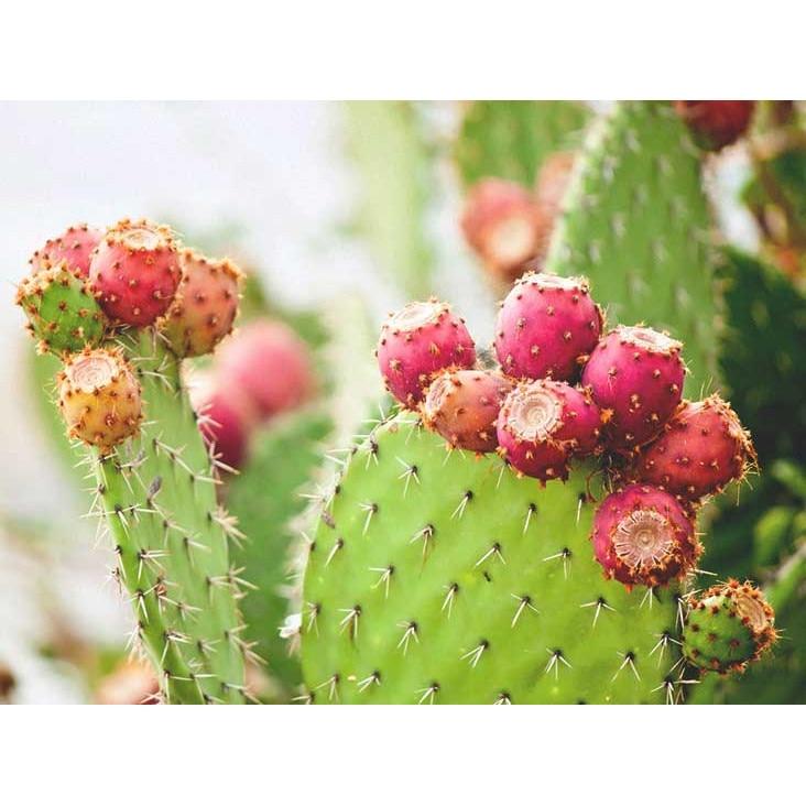 cactusul este bun să piardă în greutate